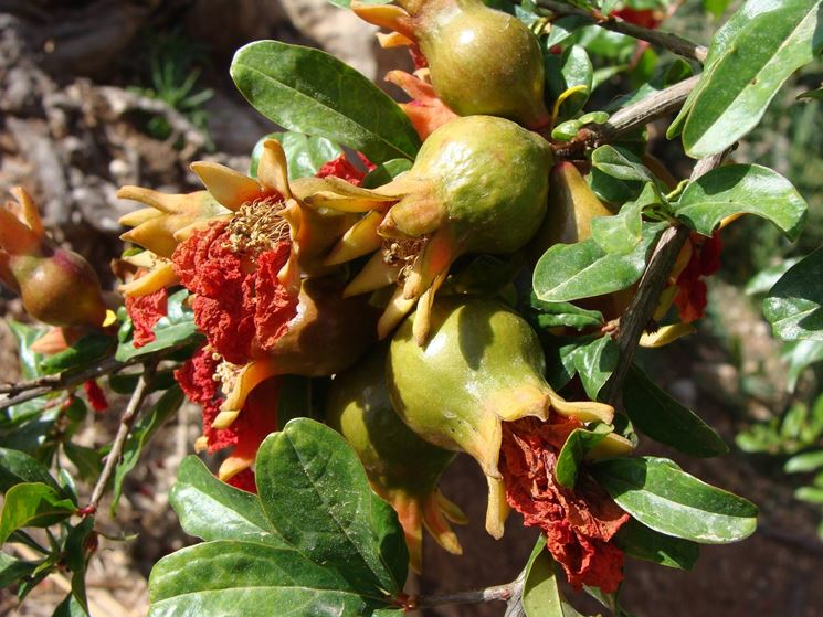 melograno fiore frutto