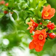 melograno pianta