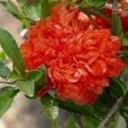 Melograno alberi da frutto caratteristiche del melograno for Albero da frutto nano