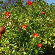 fiore del melograno