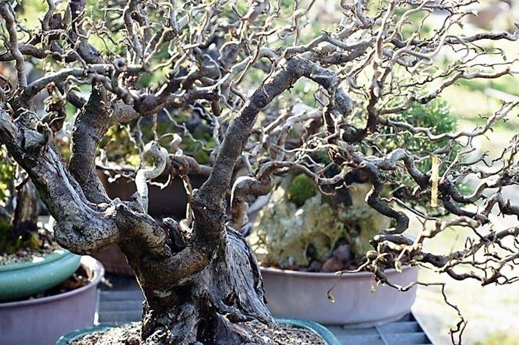 Nocciolo contorto alberi da frutto caratteristiche del for Pianta nocciolo prezzo