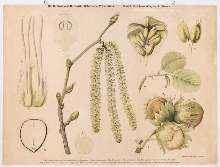Illustrazione botanica di Corylus Avellana