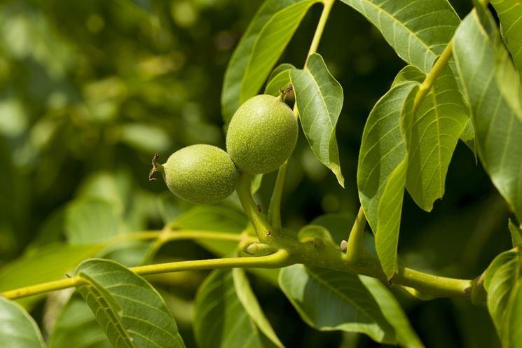 Noce alberi da frutto caratteristiche dell 39 albero di noce for Alberi da frutto