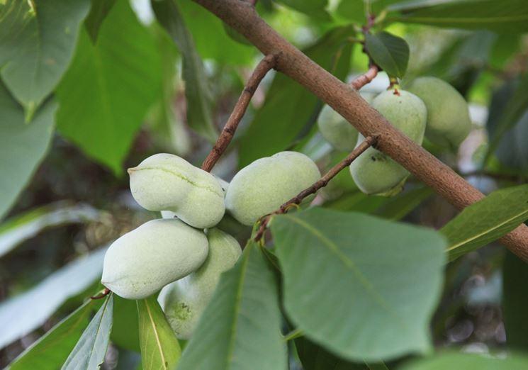 Fruttificazione papaya
