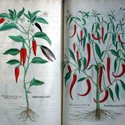 Illustrazioni botaniche di varietà di peperoncino