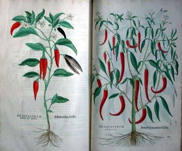 Illustrazioni botaniche di variet� di peperoncino