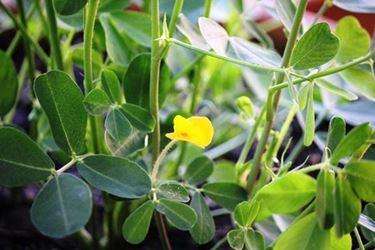 Una pianta di arachidi con il tipico fiore giallo