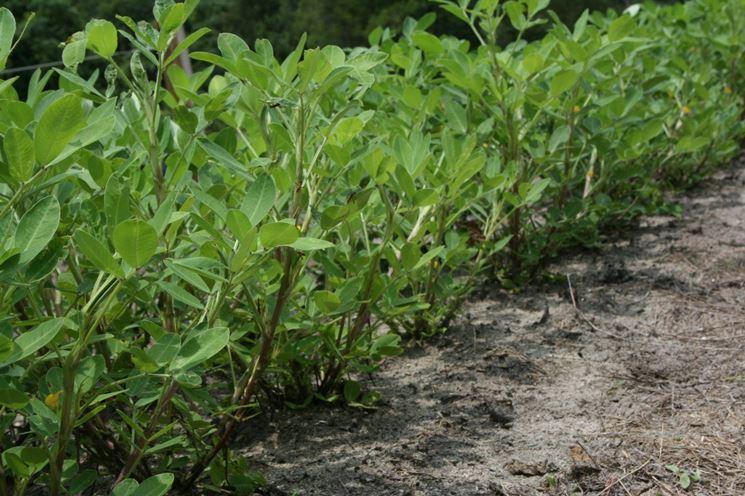 Una piantagione di arachidi