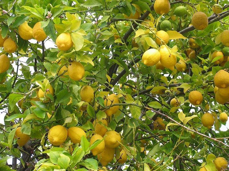 Pianta da frutto alberi da frutto caratteristiche - Alberi frutto giardino ...