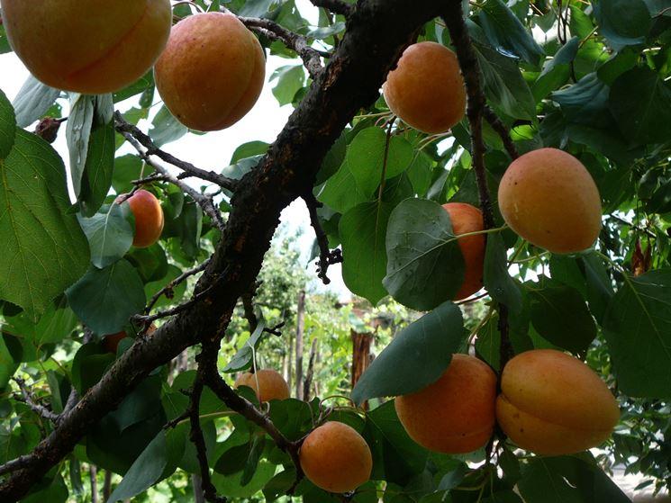 Pianta da frutto: albicocco