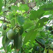 Albero di avocado con frutti