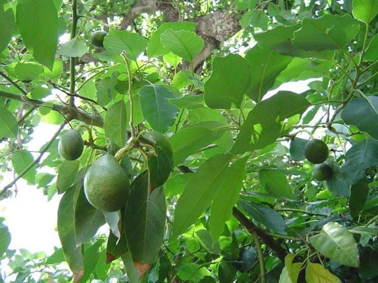 Pianta di avocado alberi da frutto caratteristiche for Alberi da frutto in vaso