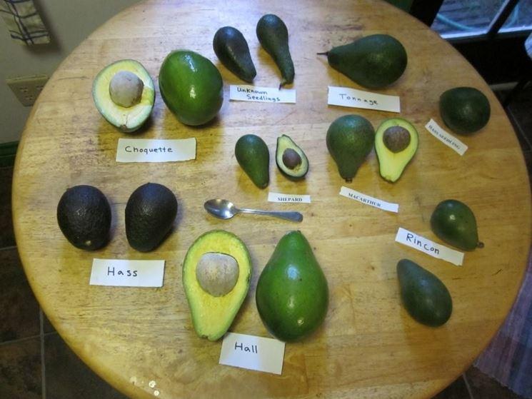 Varietà di avocado