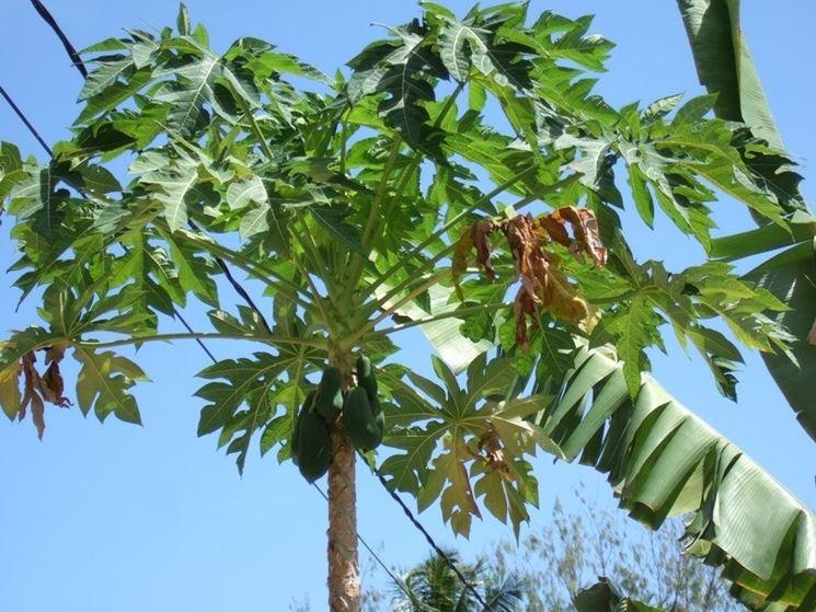 Cura della pianta di avocado