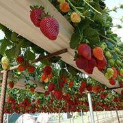 Coltivazione di fragole sospesa