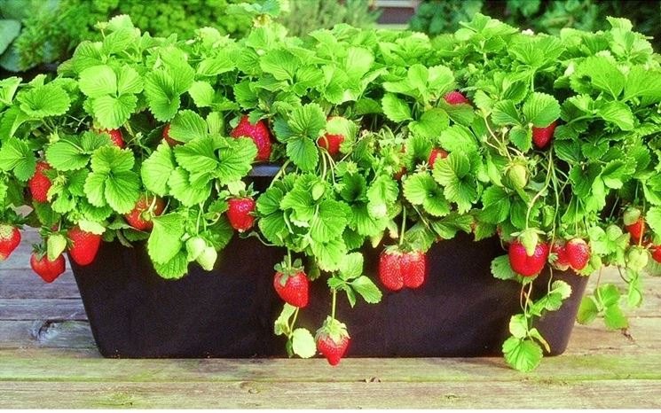 Coltivazione delle fragole in vaso