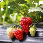 piantare fragole