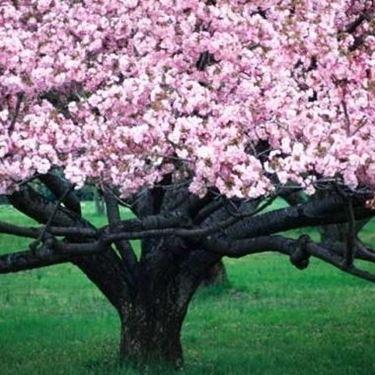 Un esemplare di ciliegio