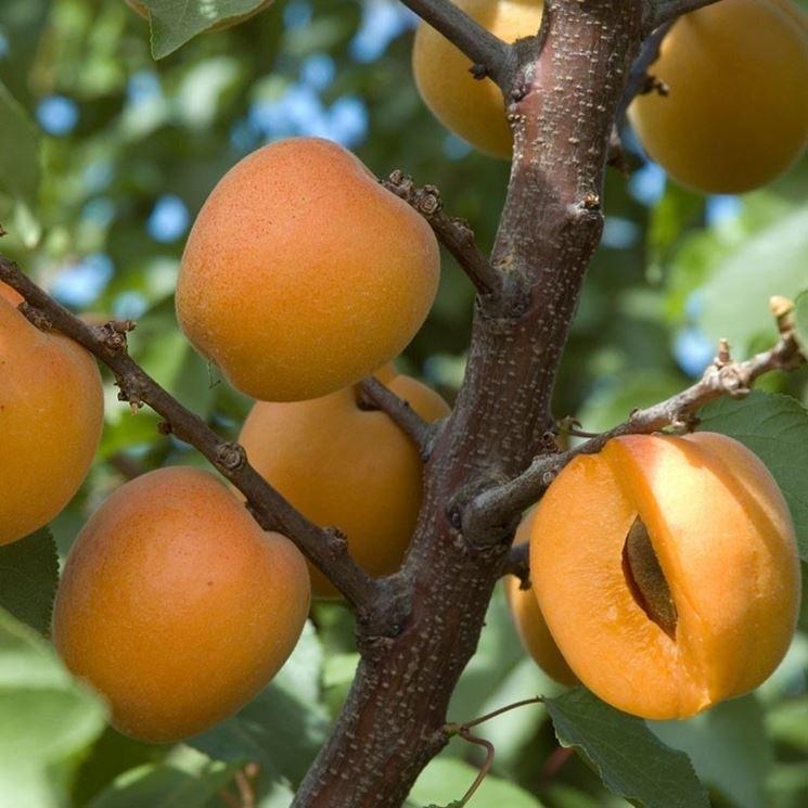 piante di frutta alberi da frutto caratteristiche