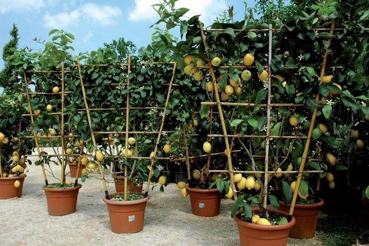Limoni coltivati in vaso