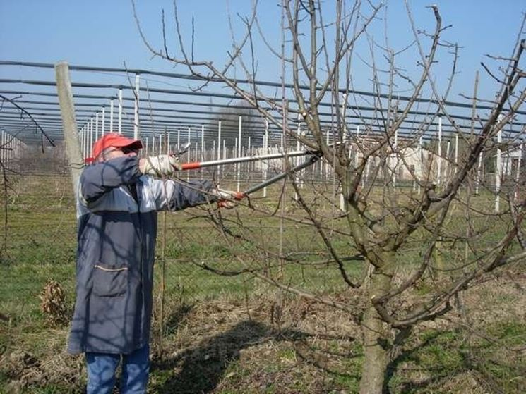 Quando potare gli alberi da frutto