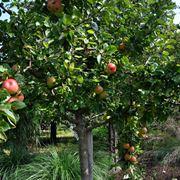 Potatura alberi da frutto alberi da frutto potatura for Potatura alberi da frutto