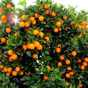 Un albero di arancio