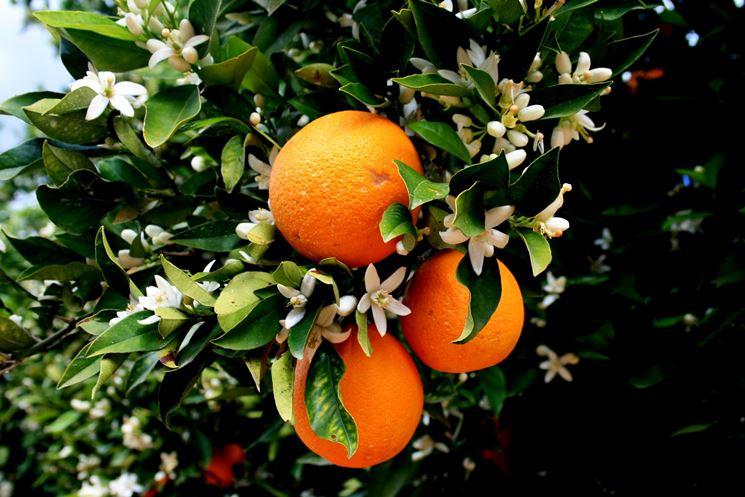Arancio fiorito con frutti