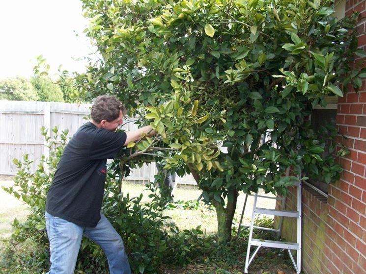 Potatura arancio alberi da frutto consigli per potare for Potatura alberi da frutto
