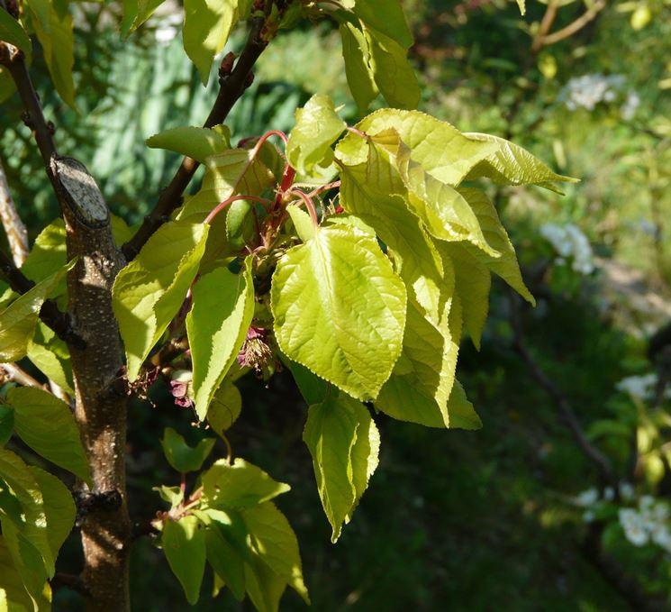 Prunus armeniaca alberi da frutto caratteristiche del for Alberi da frutto