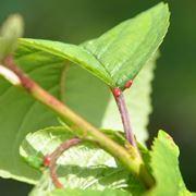 Ghiandola nettarifera del Prunus avium
