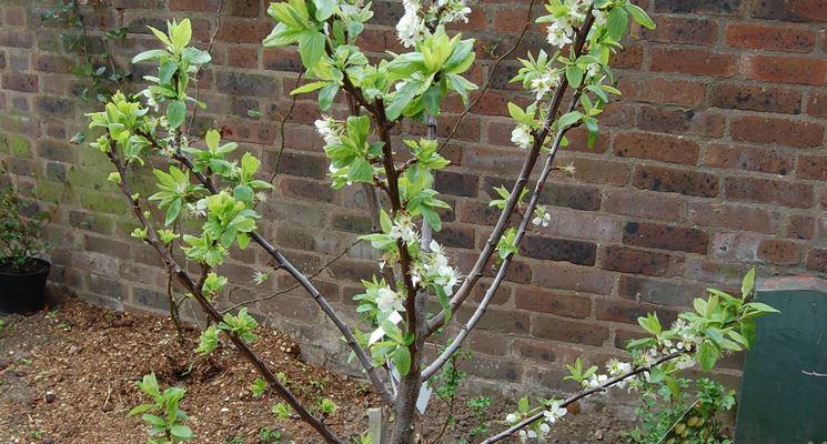 Giovane albero di ciliegio