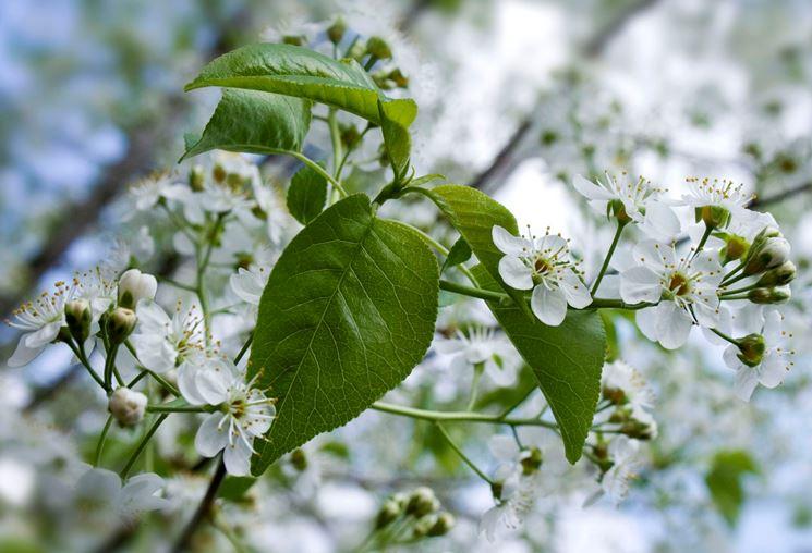 Prunus avium: messa a dimora, potatura e innaffiatura