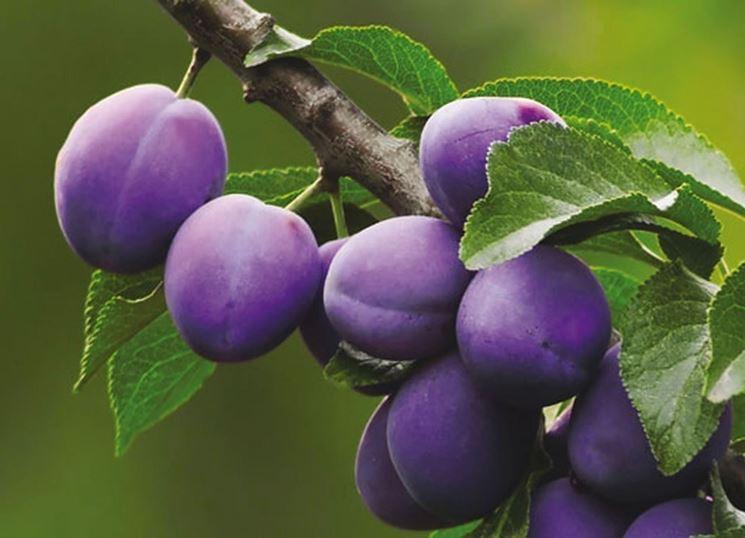 Frutti di Prunus domestica