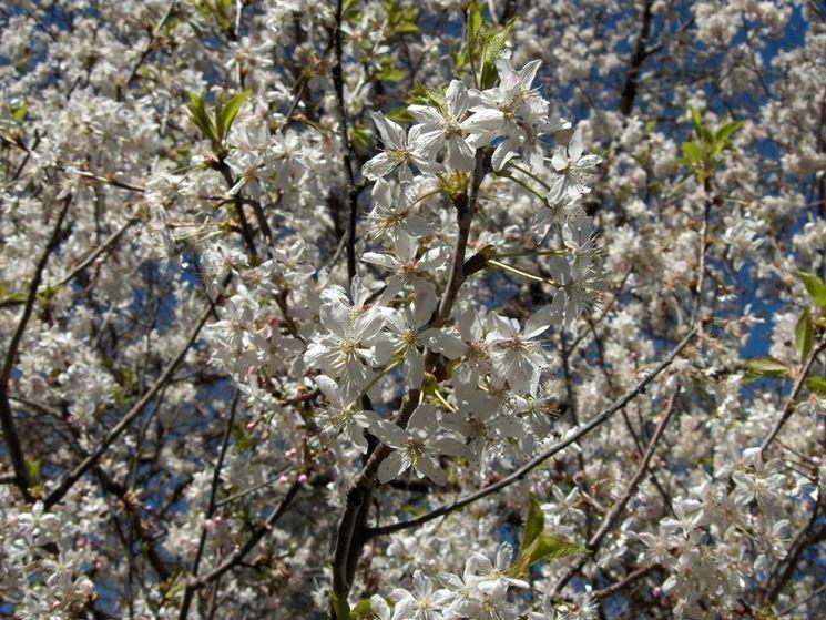 Fiori di Prunus domestica