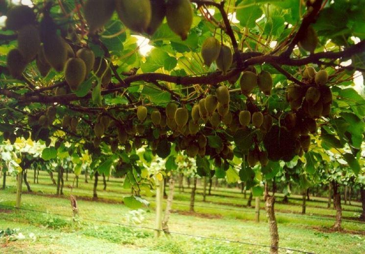 Alberi di kiwi con frutti