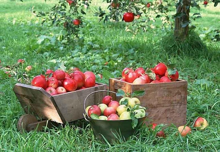 Cassette di mele raccolte
