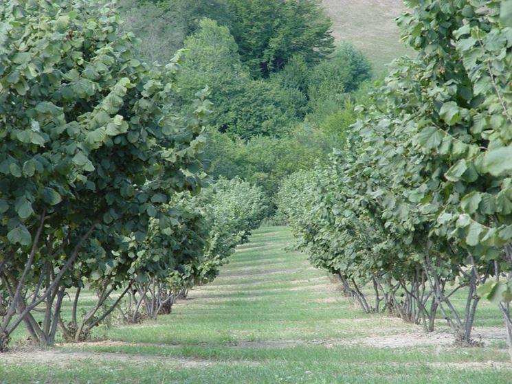 Raccolta nocciole alberi da frutto come raccogliere le for Pianta nocciolo prezzo