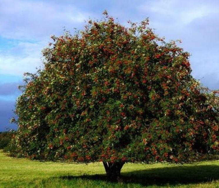 Sorbo alberi da frutto coltivare pianta sorbo for Chioma albero