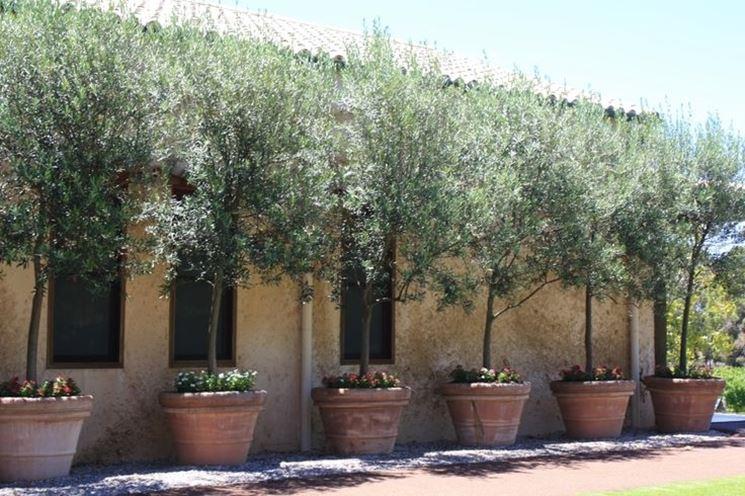 Ulivo in vaso - alberi da frutto - Coltivare l\'ulivo in vaso