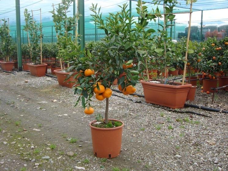 Vendita alberi da frutto alberi da frutto alberi da for Piante da comprare
