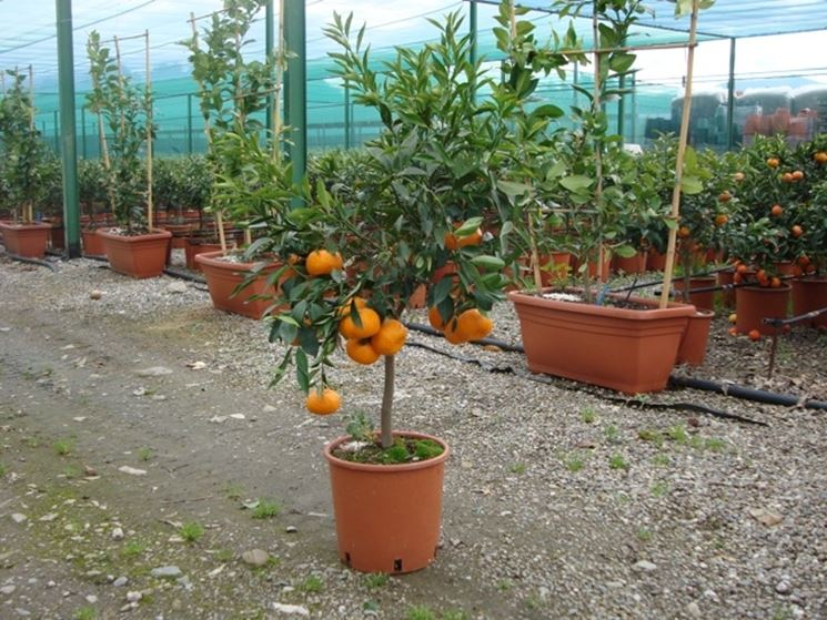 Vendita alberi da frutto alberi da frutto alberi da for Quando piantare alberi da frutto