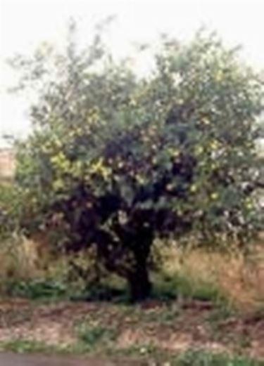 foto pianta di limone