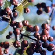 frutti di malus floribunda