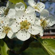 melo da fiore