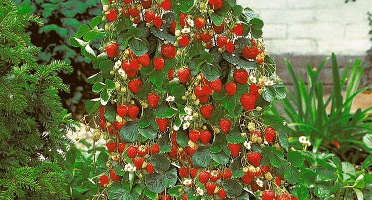 Fragole rampicanti il frutteto coltivare fragole for Fragole piante in vaso