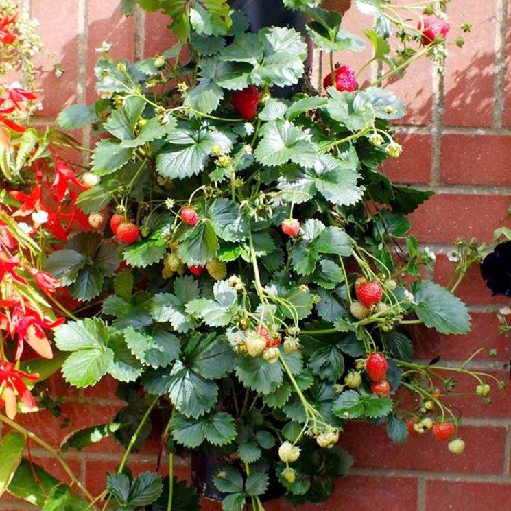 Fragole rampicanti il frutteto coltivare fragole for Pianta fragole