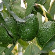 Avocado piante da frutto caratteristiche dell 39 avocado for Pianta di avocado