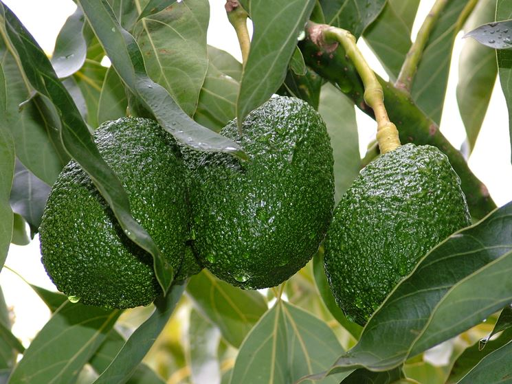 Semi di avocado il frutteto caratteristiche dell 39 olio for Pianta di avocado