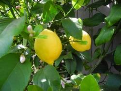 Particolare di un ramo con presenza di fiori frutti e boccioli